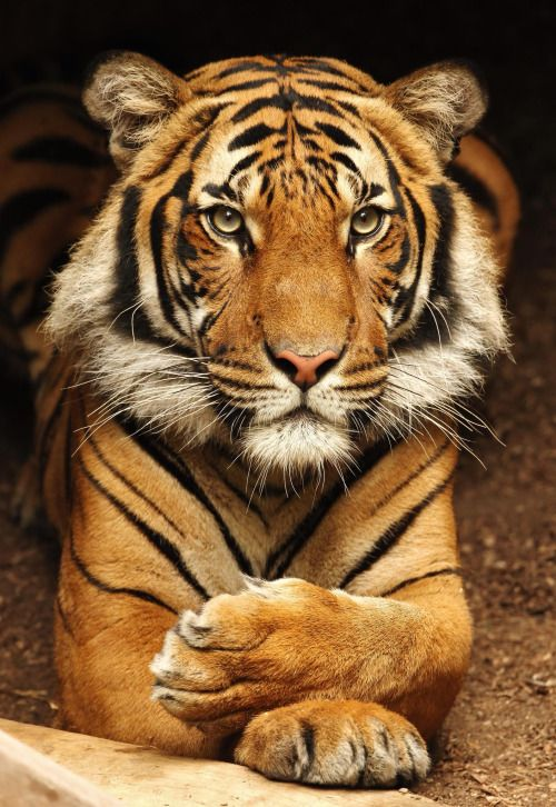 A tiger is a beautiful thing. photo by Mike Wilson.