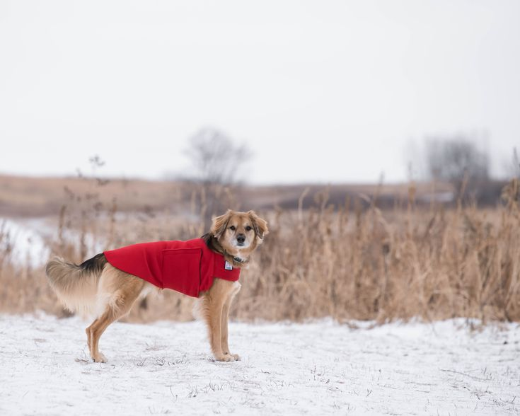 Orion enjoying the outdoors in his Red Voyagers K9 Apparel Tummy Warmer. Voyagers K9 Apparel makes breed-specific, custom dog coats to keep dogs warm and dry during the cold months. Check us out at www.k9apparel.com