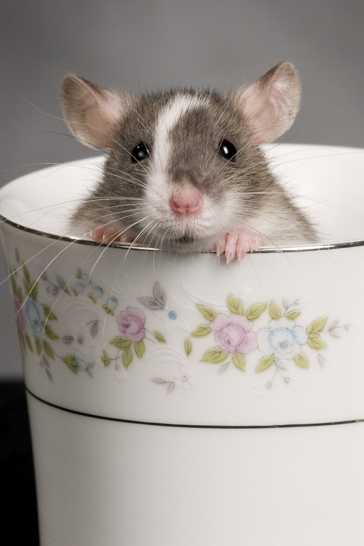 Rat in a tea cup.  My children had rats, they are really cool, but they don't live log. Maybe,3 to 5 years.