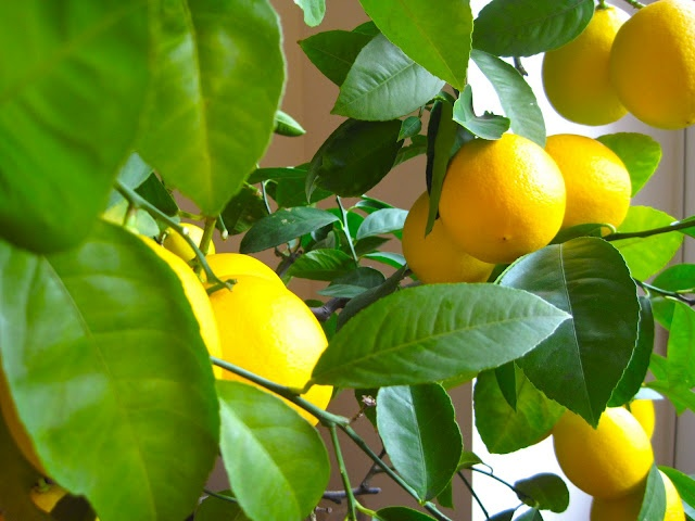 New York lemon tree from slowlovelife.com