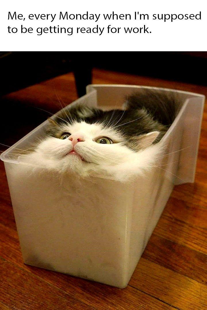 Top Laughing So Hard Cat Memes Cat Memes Kid Friendly Cute Funny Animals Cute Animals Cats