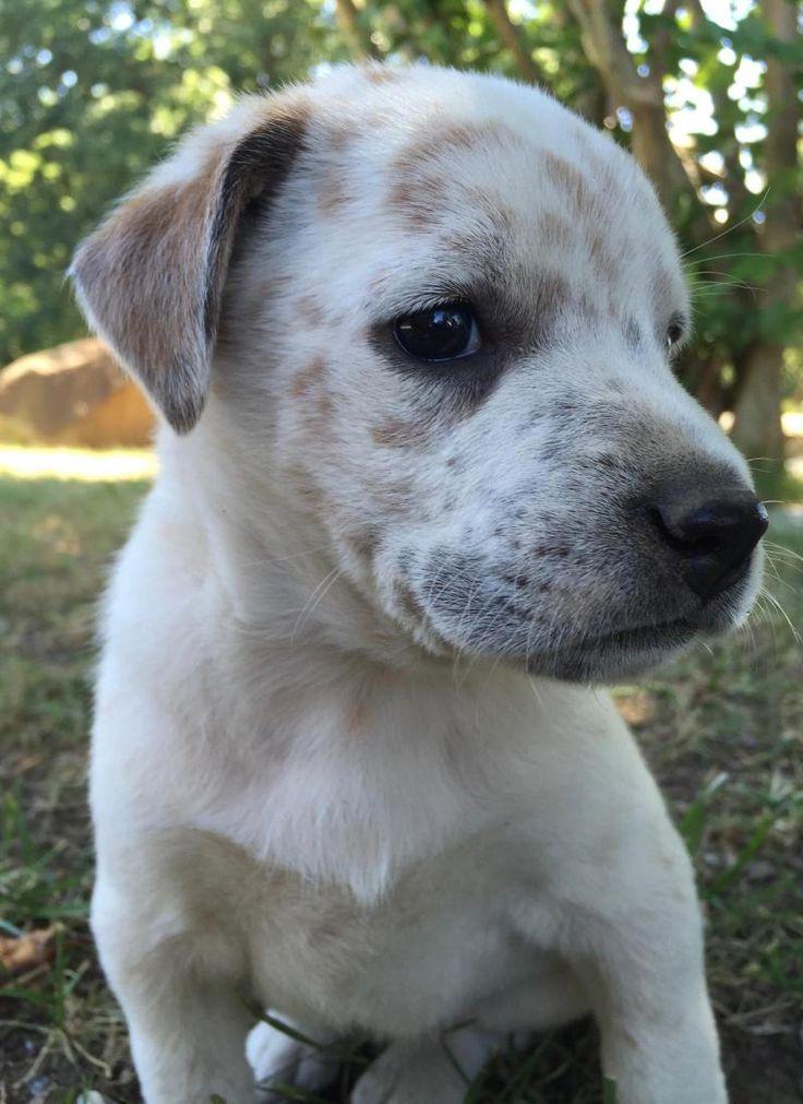 Adopt Toffee On Shepherd Mix Dog Australian Shepherd Animal Rescue