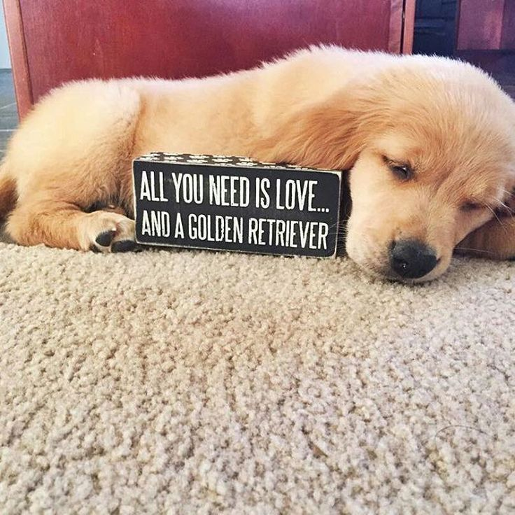 All You Need Is Love And A Golden Retriever Golden Retriever