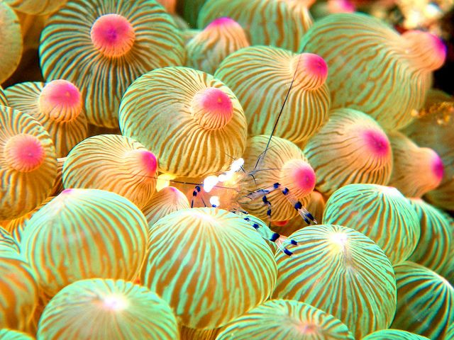 Anemone Shrimp in a Bubble Tip Anemone