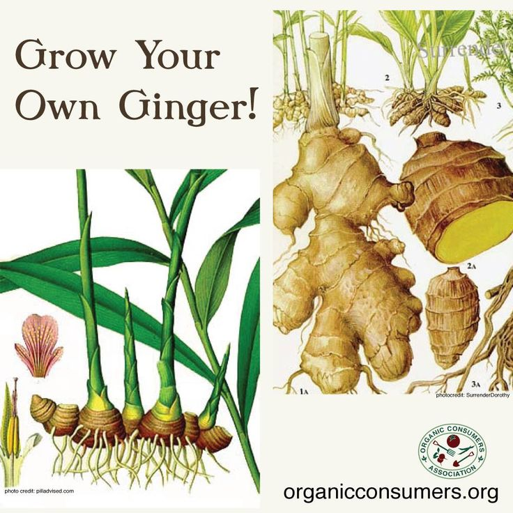 Check out these helpful tips for growing your own ginger: http://andiesway.blogspot.com/2014/10/growing-ginger-my-first-time.html #Gardening #Ginger