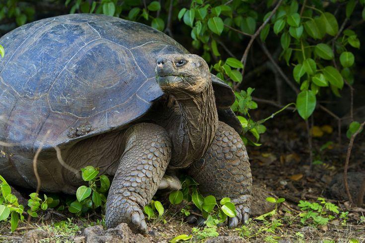 особенности слоновья черепаха картинки героем игры