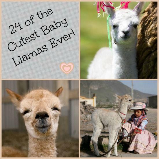Best 25 Baby Llama Ideas On Pinterest: 17 Best Ideas About Baby Llama On Pinterest