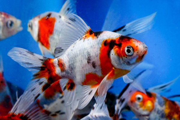 10 ideas about shubunkin goldfish on pinterest goldfish for Goldfisch und koi