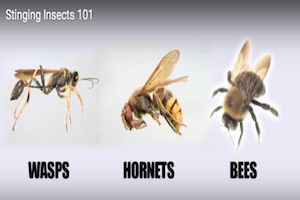 stinging-insects-101.png (300×200)