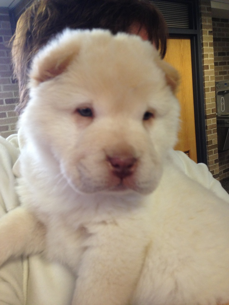 Chinese sharpei bear coat; i want this dog hes so cute.