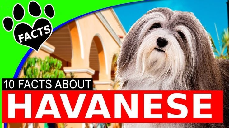 10 Cool Facts About Havanese Dogs 101 Cutest Small Dog Breeds  - Animal ...