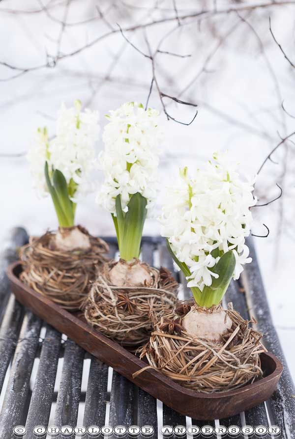 hyacinths in wrapped nests