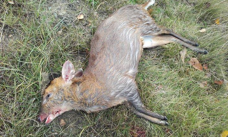 Det er en sejlivet myte, at overgangen fra sommertid til vintertid betyder flere påkørsler af hjortevildt. Ikke desto mindre blev en af Danmarks nyeste vildtarter, muntjac'en, fundet trafikdræbt i dag.