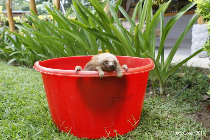 Just hanging out in a bucket. | The 29 Cutest Sloths That Ever Slothed