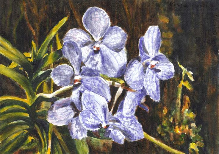 Vanda coerulea, orchid by Maga Fabler; watercolor