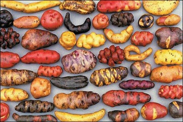 Miren qué interesante la enorme variedad de papas chilotas que hay!