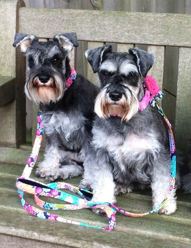 My beautiful girls Micci and Tilly. Showing off their new matching collar and lead sets