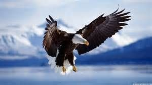 bald eagles pictures dowload