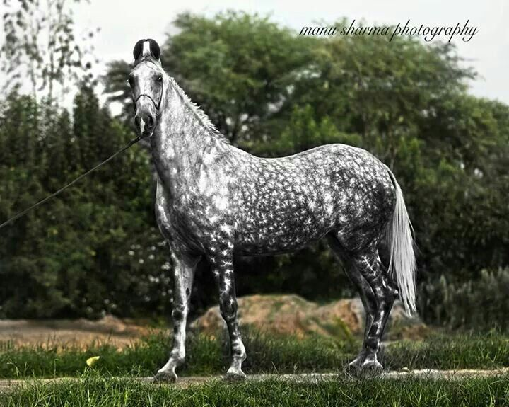 Dappled grey Marwarwi horse                                                                                                                                                     More
