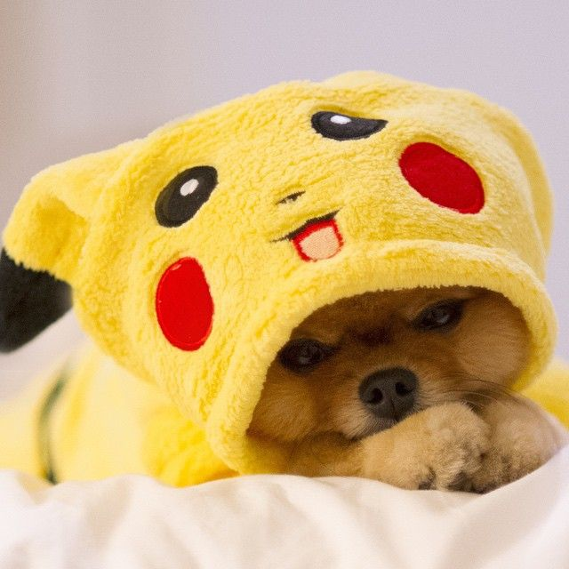 pomeranian wearing a pikachu outfit find this pin and more on halloween outfits - Dogs With Halloween Costumes On