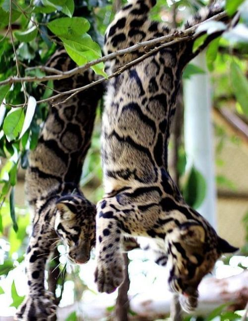 """""""Clouded leopards are known for their mad climbing skills ..."""