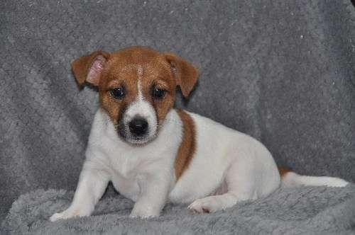 4 Sale: 2 Female Jack Russell Puppies   from a litter of 3 Females.   Born 10th January 2016, both Smooth Coat &  now ready to go to their New Homes - https://www.pups4sale.com.au/dog-breed/446/Jack-Russell-Terrier.html