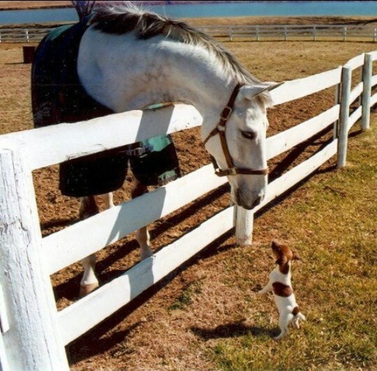 The rat terrier thinks he's every bit as big as the horse!