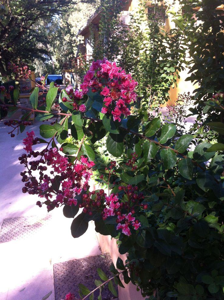 Lagerstroemia ou Lilas des Indes ... une pure merveille avec des couleurs somptueuses qui vous éblouiront en plein été en vacances au camping ... #ExceptionVegetale