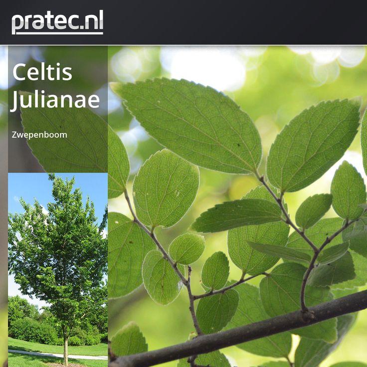 Celtis Julianae - Zwepenboom http://pratec.nl/product-categorie/bomen/?orderby=price&filtering=1&filter_latijnse-naam=263  Celtis julianae, Zwepenboom, Chinese zwepenboom, Netelboom, Chinese netelboom, Oosterse netelboom, Oosterse zwepenboom allerlei benamingen worden er aan deze snelgroeiende boom gegeven. Kenmerkend is het veelvormig blad, de onderzijde van het  blad is geel tot oranjegeel behaard, soms alleen op de nerven.