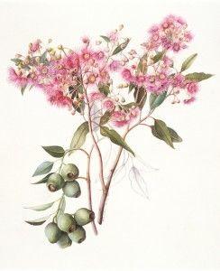 eucalyptus ficcifolia