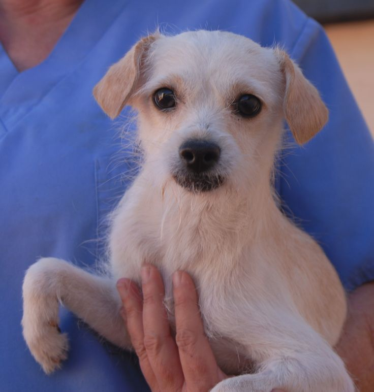 Leonard wants someone to love.  He is an affectionate young sweetheart, a cream & white Chihuahua & Terrier mix, 1 year of age, now neutered and debuting for adoption today at Nevada SPCA (www.nevadaspca.org).  Leonard enjoys other dogs and warmly bonds with people who are nice to him.  He is also reportedly housetrained and crate-trained.