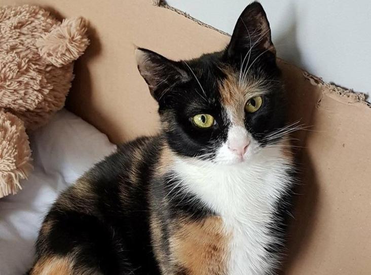 Princess Find A Pet Rspca Org Uk Calico Cat Cats Pets