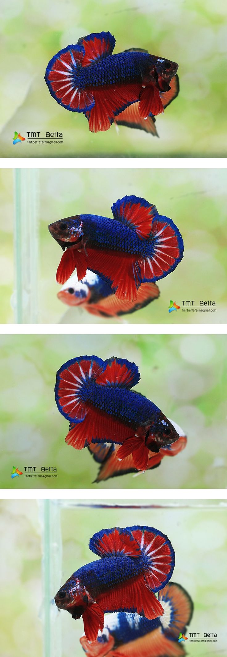 340 best Kampffische images on Pinterest | Betta, Betta fish and ...