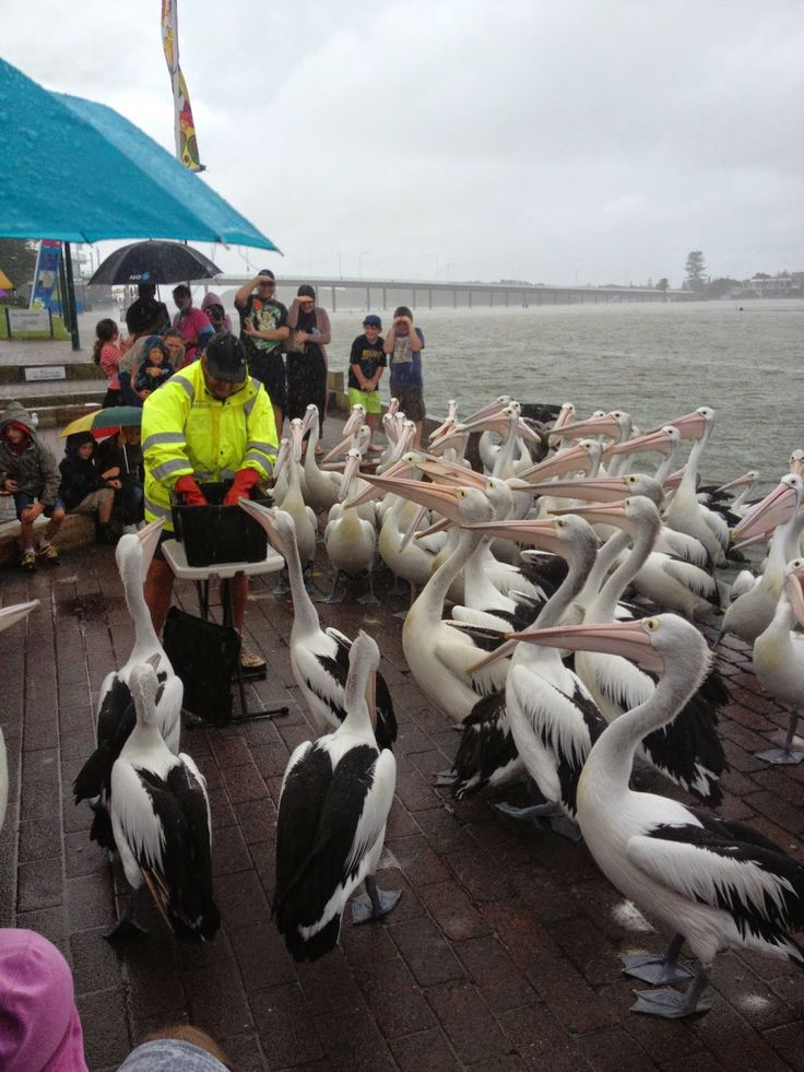 Working Through It: Pelican feeding at The Entrance, NSW Central Coast