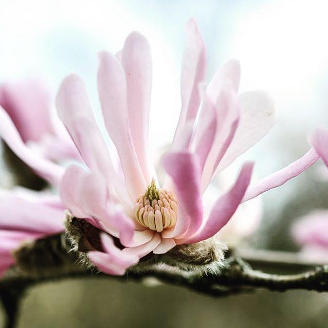 """Mi piace"": 305, commenti: 10 - Jason Ingram (@jasoningram) su Instagram: ""Magnolia x loebneri 'Raspberry Fun' #gardenphotography #magnolia #magnoliaxloebneri #spring…"""