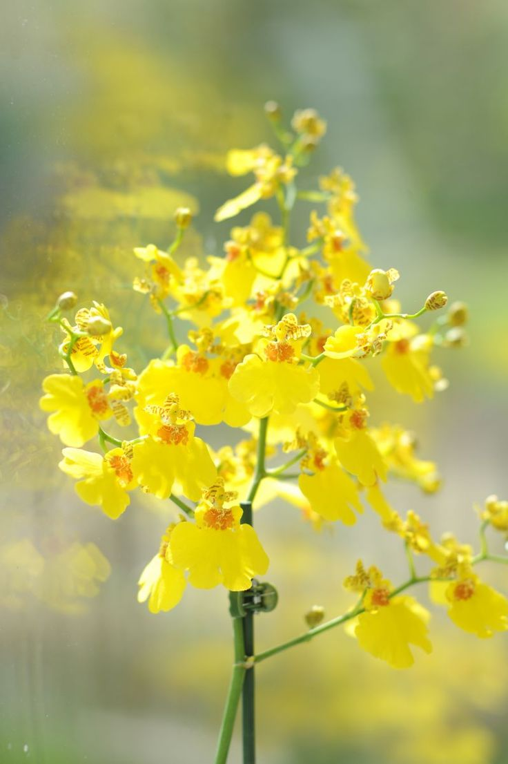 Yellow Oncidium Orchids #flowers Get wowed with an amazing bouquet: http://www.bloomsybox.com/