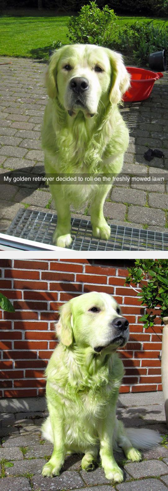 my dog does this only it isn't freshly mown grass he has been a rollin' in :/