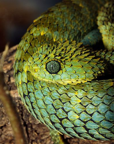 African bush viper - Such an awesome pattern.