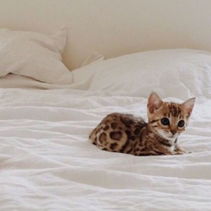 This Bengal kitten is a real beauty don't you think?