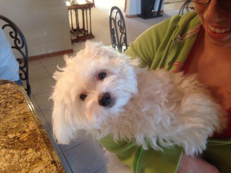 Maltese. Bentley. Puppy. Love.