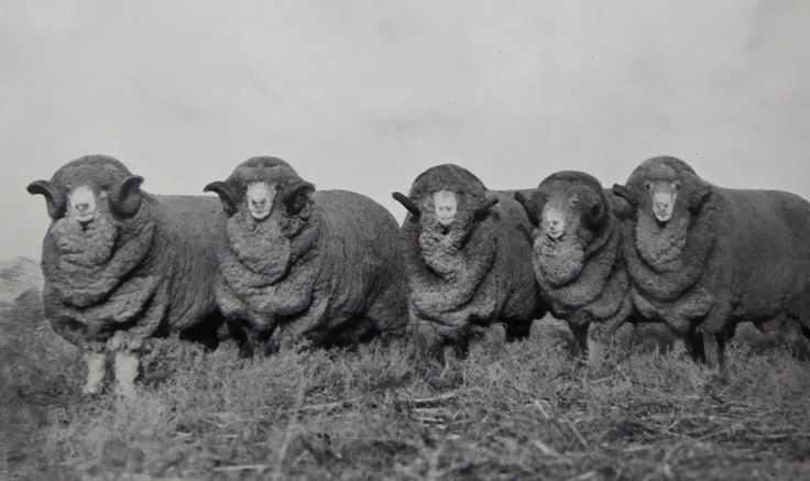 Stud Merino Rams, Bred at Hadden Rig. Five of the 35 Hadden Rig Rams sold by Dalgety & Co., 1924 Sydney Sheep sales for the price of 15,513 Pounds.  Haddon Rig, New South Wales. The Property of Franc B. S. Falkiner, Esq. Originally a property of approximately 28,000 acres. Enlarged to 80,000 acres with the purchases of Merrimba Station, Wemabung Station and Bona Station in the early 1920s. Photo circa 1920. Uploaded courtesy of thecollectorsbag.com