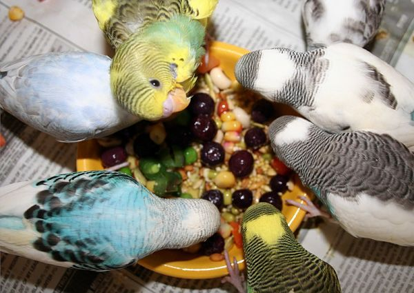 Qué Frutas y Vegetales Comen los Periquitos? ¡Los Mejores Manjares Para Tu Mascota!