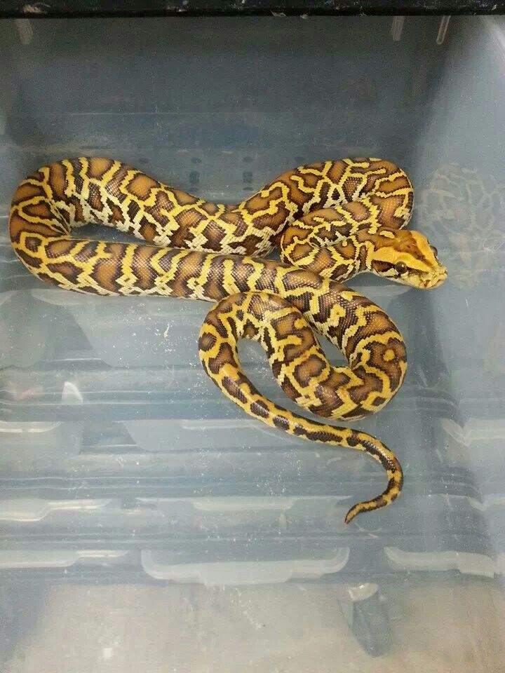 225 best images about pythons on pinterest carpets