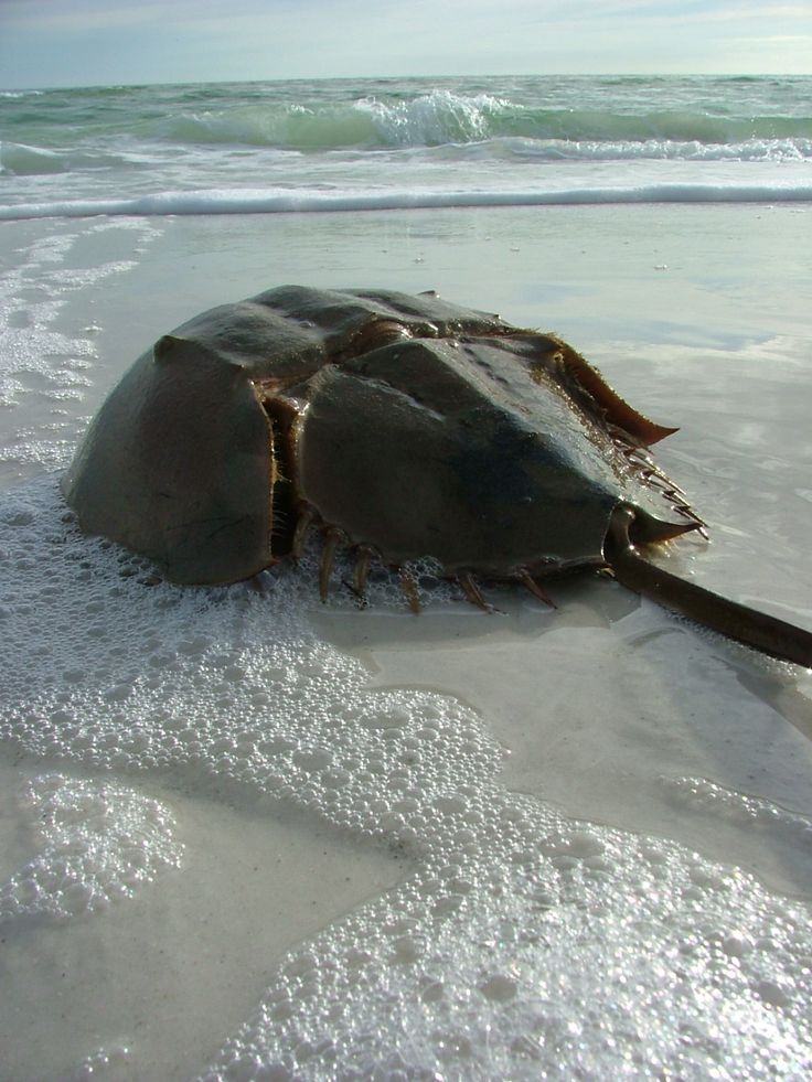 Horseshoe Crab. Living fossils, thought to have first appeared about 450…
