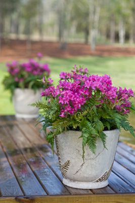 Azaleas and ferns combine in this gorgeous container planting from Encore Azalea. Love the bold colors and soft texture of this combination. For more planting ideas, visit http://www.landscapingnetwork.com/plants/traditional.html