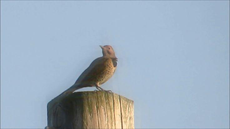 🐦Beautiful Northern Flicker bird on a utility pole🐦
