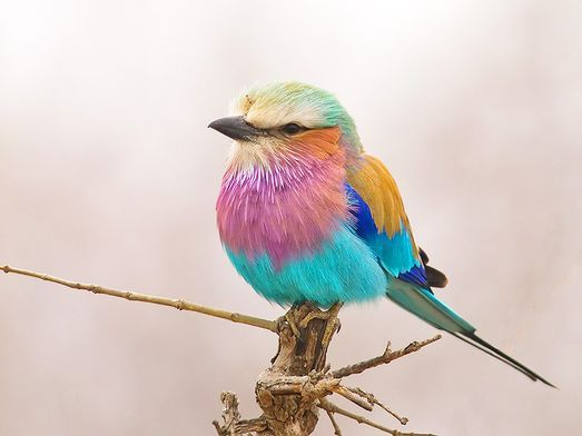 Rainbow Bird - A Lilac Breasted Roller -  Just Beautiful!