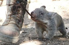 This is my only memory of baby wombats. They love nibbling shoe laces!!! How adorable.