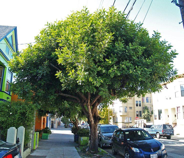Carob Tree   Ceratonia siliqua