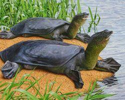 World's Largest Freshwater Turtle, the Yangtze Softshell Turtle Almost Extinct